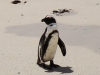 cape-jackass-penguin