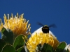 carpenter-bee-fynbos