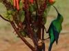 malachite-sunbird