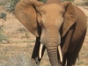 elephant-addo