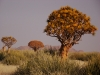 quiver-tree-namibia