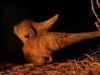 white-rhino-horn