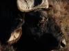african-buffalo
