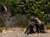 baboons-grooming-cape-point
