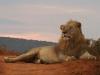 lion-addo