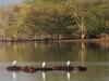 hippo-egrets