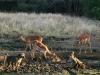 impala-baboons