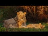 lion-dad-cubs