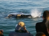 whales-hermanus