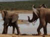 elephants-playing