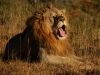lion-yawning-eastern-cape