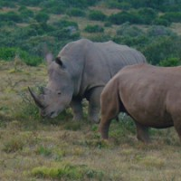 safaris, rhino, poaching, south africa, kruger