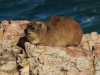 cape-point-dassie